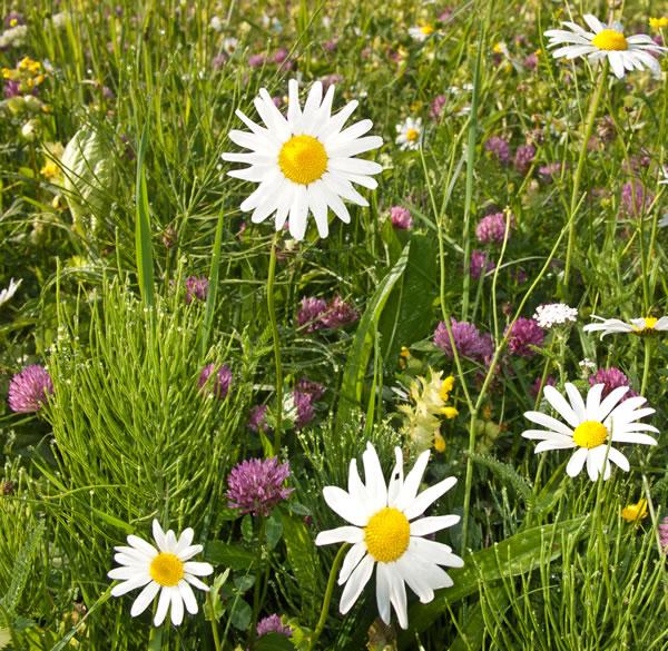 Blumenwiese mit Enzian